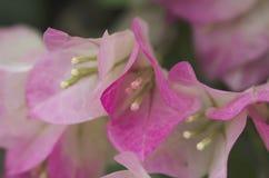 Бугинвилия макроса розовая и белая Стоковое Фото
