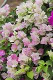 Бугинвилия макроса розовая и белая Стоковые Изображения