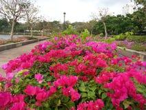 Бугинвилия на парке Бангкоке Таиланде Benchakitti Стоковая Фотография