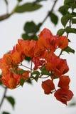 Бугинвилия - парк - Hoi - Вьетнам Стоковые Изображения RF