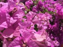 Бугинвилия: розовый цветок Стоковое Изображение RF
