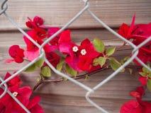 бугинвилия цветет красный цвет Стоковое фото RF