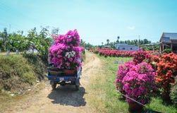 Бугинвилия цветет на полях в Dong Thap, Вьетнаме Стоковые Изображения