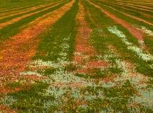 Будучи деланным болото клюквы готовым для сбора в болоте Висконсина Стоковое фото RF