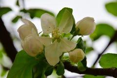Будущее яблоко Стоковое Изображение RF