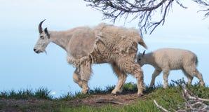 Будьте матерью коз горы ребенк няни и младенца на урагане Ридже в олимпийском национальном парке в штате Вашингтоне США стоковые изображения