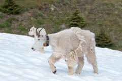 Будьте матерью коз горы ребенк няни и младенца на урагане Ридже в олимпийском национальном парке в штате Вашингтоне США стоковые изображения rf