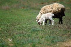 Будьте матерью овец с овечкой младенца на зеленом луге Стоковая Фотография RF