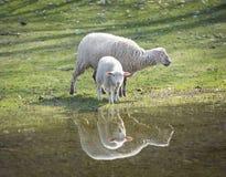 Будьте матерью овцы и овечки младенца краем ` s воды Стоковые Изображения RF
