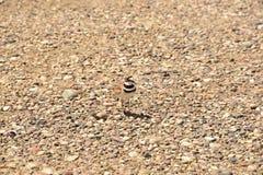Будьте матерью птицы Killdeer пробуя отвлечь меня далеко от ее гнезда Стоковые Фото