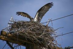 Будьте матерью скопы в гнездо стоковые изображения rf