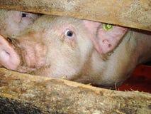 будьте фермером свинья Стоковые Фотографии RF