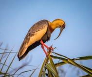 Буйволовая кожа-necked ibis садился на насест на верхней ветви в джунглях Стоковые Фотографии RF