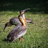 Буйволовая кожа necked Ibis стоковая фотография rf