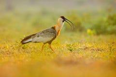 Буйволовая кожа-necked Ibis, caudatus Theristicus, экзотическая птица в среду обитания природы, птица сидя в траве с красивым све Стоковая Фотография RF