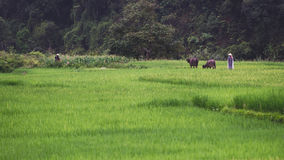 Буйволы и пастух в поле риса Стоковые Изображения