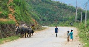 Буйволы на сельской дороге в Sapa, Вьетнаме Стоковое фото RF