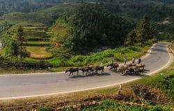 Буйволы на сельской дороге в Sapa, Вьетнаме Стоковые Фотографии RF