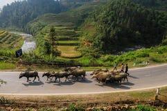 Буйволы на сельской дороге в Sapa, Вьетнаме Стоковое Изображение