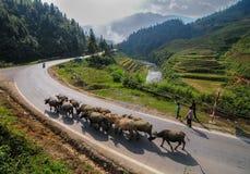 Буйволы на сельской дороге в Sapa, Вьетнаме Стоковая Фотография RF