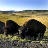 буйволы Стоковое фото RF