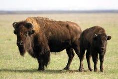 буйволы Стоковое Фото