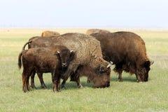 буйволы Стоковые Фотографии RF