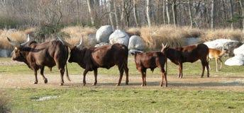 буйволы Стоковые Фото
