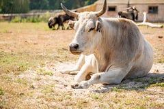 Буйвол альбиноса или белый буйвол, конец вверх на стороне и тело с красивым рожком на предпосылке поля стоковая фотография rf