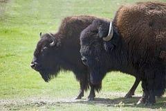 буйвол американского зубробизона Стоковые Фото