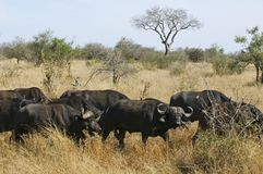буйвол Африки южный Стоковые Изображения RF
