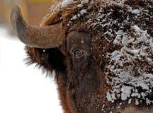 Буйвол в зиме Стоковое Изображение