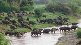 Буйвол в сафари саванны в Кении Стоковые Фотографии RF