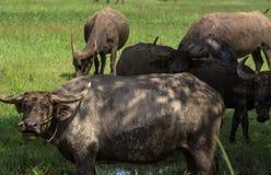 буйвол есть траву поля тайскую Стоковая Фотография RF