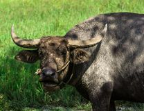 буйвол есть траву поля тайскую Стоковое Изображение