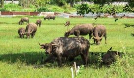 буйвол есть траву поля тайскую Стоковая Фотография