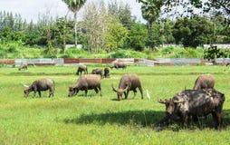 буйвол есть траву поля тайскую Стоковые Фото