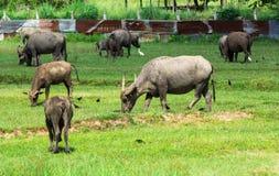 буйвол есть траву поля тайскую Стоковое Изображение RF