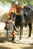 буйвол есть траву Стоковая Фотография