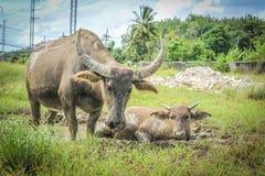 буйвол живя в луге стоковая фотография