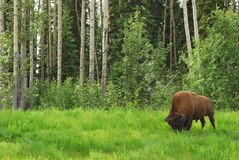 буйвол зубробизона Стоковое Изображение