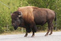 буйвол зубробизона Стоковые Фотографии RF