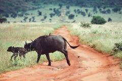 Буйвол и ее икра на заповеднике холмов Taita, Кении стоковые фото