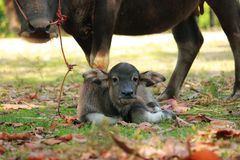Буйвол матери нянчит своего младенца Таиланд Стоковая Фотография RF