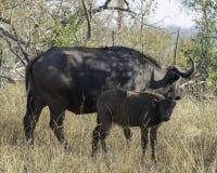 Буйвол накидки - живая природа большого парка Lumpopo Transfrontier стоковое изображение rf