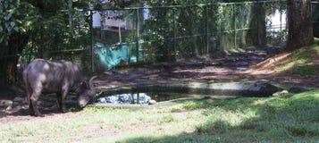 Буйвол накидки стоя близко к искусственному пруду Стоковые Фото