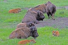 буйвол отдыхая Вайоминг Стоковая Фотография