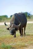 буйвол подхода стоковые изображения