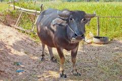 буйвол тайский Стоковые Изображения