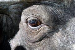 буйвол 01 стоковые изображения rf